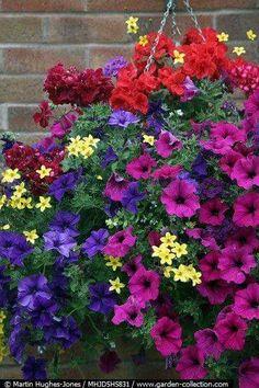 Wallish greenhouses pink geranium window box pink seed geraniums hanging basket with blue and purple petunias trailing geraniums and bidens mightylinksfo