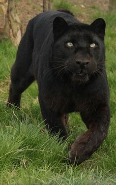 Black leopard - Found on www.flickr.com via Tumblr