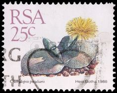 Picture of SOUTH AFRICA - CIRCA A stamp printed in the Republic of South Africa shows a plant and flower of the desert succulent, Cheiridopsis peculiaris, circa 1988 stock photo, images and stock photography. All Plants, Live Plants, Cactus Plants, How To Water Succulents, Planting Succulents, Best Garden Tools, Hedging Plants, Postage Stamp Collection, Inside Garden