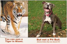 you can own a tiger in Miami ... but not a pit bull
