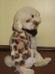mini toy poodle - Google Search Dog Hairstyles, Mini Dogs, Poodle, Dog Breeds, Toy, Google Search, Animals, Animales, Animaux