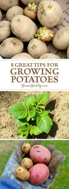 Edible garden 278238083214859860 - Have you tried growing potatoes in your garden? Growing potatoes is fun and not that difficult! You can grow unique varieties not found in supermarkets. Hydroponic Gardening, Hydroponics, Container Gardening, Garden Compost, Indoor Gardening, Garden Hoe, Garden Works, Tower Garden, Herb Gardening