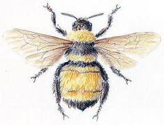 Bombus pennsylvanicus, Bumble Bee