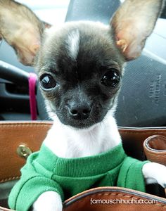 tank the famous chihuahua