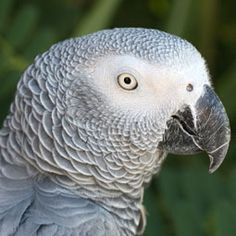 Learn what are the best foods to feed to your African grey parrot.