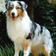 Australian Shepard, future dog??