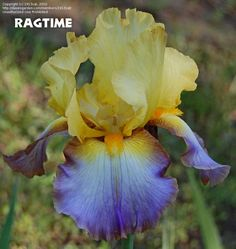 Full size picture of Tall Bearded Iris 'Ragtime' (Iris)