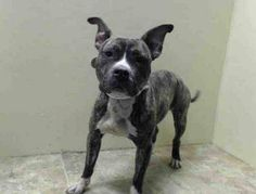 Brooklyn Center  BREE - A0994925  FEMALE, BR BRINDLE, PIT BULL MIX, 1 yr, 6 mos STRAY - EVALUATE, NO HOLD Reason STRAY Intake condition NONE Intake Date 03/26/2014, From NY 11379, DueOut Date 03/29/2014, https://www.facebook.com/photo.php?fbid=778090578870490&set=a.617941078218775.1073741869.152876678058553&type=3&theater