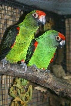 Jardine's parrot (Poicephalus g. gulielmi)