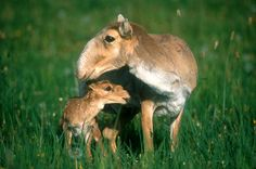 Saiga antelope (Saiga tatarica) with its accordion-inspired proboscis.  Native to Central Asia, they are critically endangered due to the growing demand for its horns as an ingredient in traditional Chinese medicine.