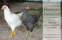 An old fashioned solution for what to do when your hens get old and stop laying. Suck it up, girlie.