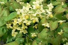 Image result for epimedium sulphureum Mellow Yellow, Herbs, Fruit, Nature, Plants, Image, House, Naturaleza, Home