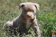 look at that face. #pitbulls