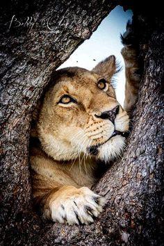 Lioness: