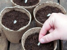 How to Plant Sunflowers --> http://www.hgtvgardens.com/flowering-plants/how-to-plant-sunflowers?soc=pinterest
