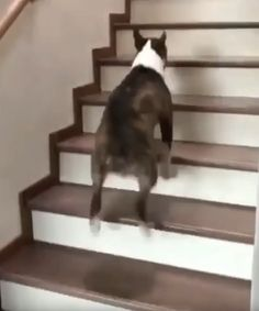 How else would you go up stairs? Funny Animals, Cute Animals, Cute Dogs, Stairs, Bull Terriers, Doggies, Fur Babies, Braid, Husky