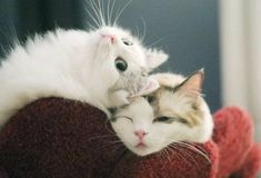 Cats Wallpapers ✧ Cute Kittens, Cats And Kittens, Kitty Cats, Animals And Pets, Funny Animals, Cute Animals, Beautiful Cats, Animals Beautiful, Gatos Cats