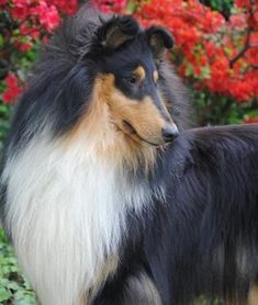 The Shetland Sheepdog originated in the and its ancestors were from Scotland, which worked as herding dogs. These early dogs were fairly Collie Puppies, Collie Dog, Dogs And Puppies, Doggies, I Love Dogs, Cute Dogs, Shetland Sheepdog Puppies, Rough Collie, Herding Dogs