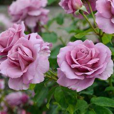 チュチュ・モーヴ>「チュチュ」とは、バレリーナのスカートのこと。ひらひらした丸い花弁が踊っているような愛らしさがあります。病気に強く育てやすいので、初心者にもおすすめ。鉢でもOKです。【花期】四季咲き 【樹高・幅・樹形】1.2m×1.0m、ブッシュ【花径】8~10cm、大輪【花形】丸弁高芯咲き【香り】強香【こんな方におすすめ】・初心者 ・鉢で育てたい ・香り重視