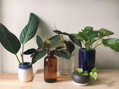 10 комнатных растений, которые легко получить из черенков. Как черенковать? Список с фото - Ботаничка.ru - Страница 6