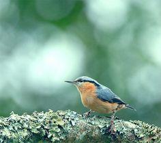 茶腹鳲.攝於台灣 台中縣 大雪山  Eurasian Nuthatch,taken at DaSyueShan, Taichung County, TAIWAN