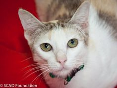Kannika is a sweet cat and can be a little shy around strangers. She is not quite so adventurous as some of the other cats rescued from the same situation, but if approached she really appreciates love and attention.