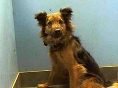 HOMER is an adoptable German Shepherd Dog Dog in New York, NY.  ...