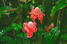 Hawaii Big Island Image 7: Jungle Flowers