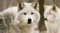 オオカミ - Google 検索