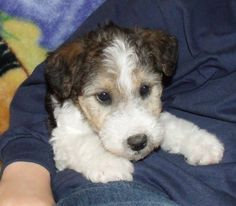 Cute Little Wire Haired Fox Terrier Puppy Cuddle-time