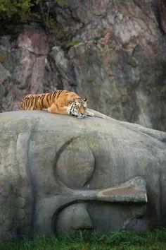 Tiger resting on a Buddha head.