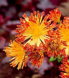 Chrysanthemum Matchsticks