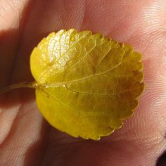 """""""http://fotomacro.tumblr.com/ Copyright © 2015 Foto Macro - All Rights Reserved #fall #autumn #macro #nature #photography #leaf #mulberry #fallfoliage"""""""
