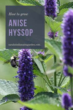Growing anise hyssop is a great herb for any gardener to start growing. Adding this into your tea garden or medicinal garden will not only bring beautiful flowers, but also strong medicinal properties. Growing anise hyssop | Growing anise hyssop in containers | Growing anise hyssop outdoors | Growing anise hyssop outdoors | Anise hyssop | Herbal tea | Growing a tea garden | Medicinal herbs | Herb gardening for beginners