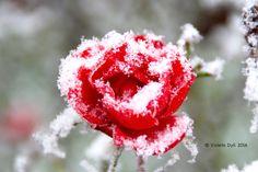 Rosa di Dicembre è gelata da freddo .