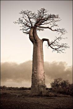 ต้นเบาบับ ที่มีคนบอกว่า พระเจ้าคงมีอารณ์ขัน จึงได้นำต้นไม้มาปักกลับหัว เอารากชี้ขึ้นฟ้า