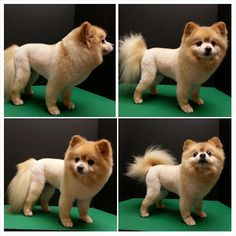 Pomeranian haircut, lion trim, pom grooming