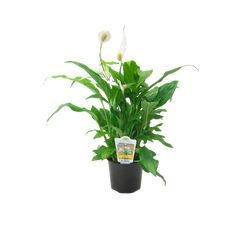 Find Cupido Peace Lilly - Spathiphyllum cochlearispathum at Bunnings Warehouse. Big Garden, Garden Beds, White Flowers, Beautiful Flowers, Growing Geraniums, Peace Lillies, Types Of Orchids, Plant Catalogs, Peace Lily