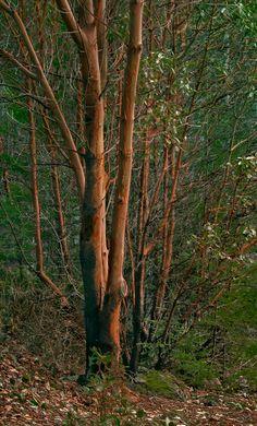 Madrona tree (Arbutus sp.) on San Juan Island, USA.