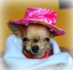 This is Mia, a cleft palate chihuahua.  Her story has touched my heart.  Repinned by SOS Inc. Resources.  Follow all our boards at http://Pinterest.com/sostherapy for therapy resources.
