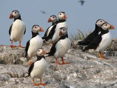 Great news! Warm temperatures have seen Puffins already returning to their breeding grounds on the Farne Islands.