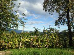 #bio #biologico #coltivare #vigna #vigneto #viti #uva #filari #ConeglianoValdobbiadene #autunno2015 #flie