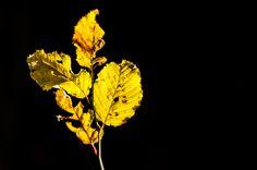 Leafe -
