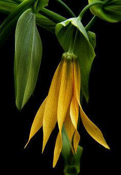 A beautiful US native: Merrybells or Uvularia grandiflora care and propagation information. For more plant information and daily garden tips, join us on facebook https://www.facebook.com/thegardengeeks