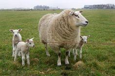 Zuidwolde (Gr) - Oosterseweg schapen