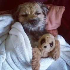 They& just nasty, nippy little buggers TBH. Border Terrier Puppy, Terrier Dogs, Terrier Mix, Terriers, Cute Dogs And Puppies, Baby Dogs, Doggies, Chihuahua Dogs, Pet Dogs