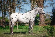 Funny Horses, Appaloosa Horses, Beautiful Horses, Animals And Pets, Girls, Cute, Painting, Poster, Pretty Horses