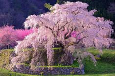 Matabe Sakura 又兵衛桜NARAMatabe Sakura is over 400 years old. Every spring, people flock to see this magnificent weep. Cherry Blossom Tree, Blossom Trees, Japan Sakura, Japan Japan, Beautiful World, Beautiful Places, Colorful Trees, Parcs, Flowering Trees