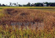 Gần 8.000ha lúa Đông Xuân ở Quảng Bình bị sâu bệnh phá hại - Tây Đô
