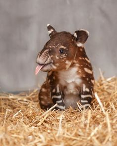 This may be the first time we've swooned over a baby tapir, but we have a feeling that it won't be the last. Those spots! That nose! The tongue!